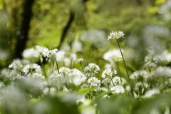 Wild Garlic Growing in Ancient Deciduous Woodland in the United. Close up of Wild Garlic Growing in Ancient Deciduous Woodland in the United Kingdom stock images