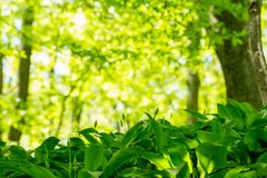 Wild garlic growing in forest Stock Photography