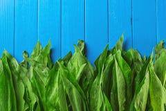 Wild garlic leaves on blue wooden background, healthy lifestyle, seasonal spring herb for kitchen, allium frame.  Stock Photos