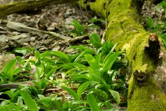 Wild garlic growing in forest Royalty Free Stock Photos
