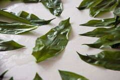 Wild garlic leaves Royalty Free Stock Images