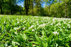 Wild garlic Stock Images