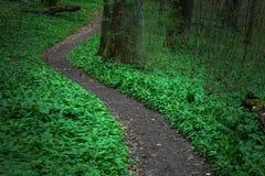Wild garlic. Path in the forest through a ocean of wild garlic Royalty Free Stock Photos