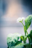 Wild garlic plant with blooming, close u Royalty Free Stock Image