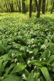 Wild garlic plant in forest Stock Photos