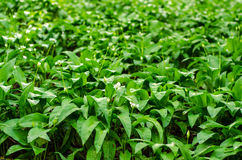 Wild garlic plants Stock Photography