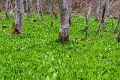Wild garlic ramson or bear garlic growing in forest. Wild garlic ramson field or bear garlic growing in forest in spring stock photos