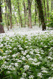 Wild garlic (ramson) forest in blossom Stock Photos