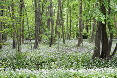 Wild garlic (ramson) forest in blossom Royalty Free Stock Image