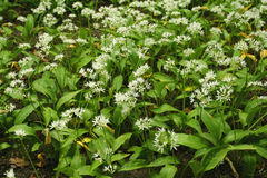 Wild garlic - ramsons Royalty Free Stock Images
