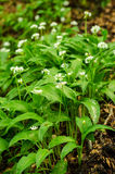Wild garlic. (Ramsons) in a forest Royalty Free Stock Photo