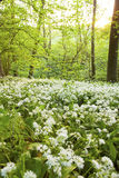 Wild garlic in spring. Stock Image