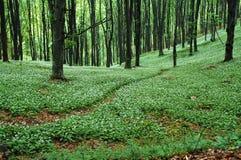 Wild garlic in spring forest Stock Photos