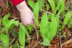 Wild garlic in spring forest Stock Photo