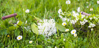 Wild garlic, sweet woodruff and other herbs Stock Images