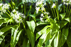 Wild garlic with white blooms Stock Photography