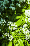 Wild garlic with white blooms Stock Image