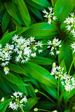 Wild garlic with white blooms Royalty Free Stock Photo