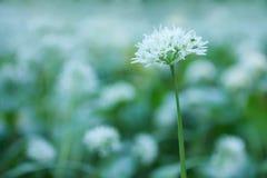 Wild garlic Stock Photo