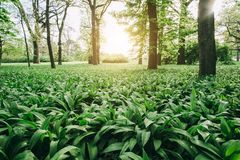 Wild garlic. In the forest royalty free stock image