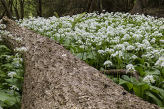 Wild garlic in woodland Stock Image