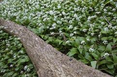 Wild garlic in woodland Royalty Free Stock Image