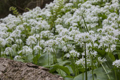 Wild garlic in woodland Stock Photo