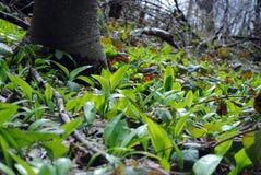 Wild garlic in the woods Stock Image