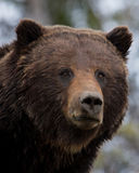 Wild Gaze. Grizzly Bear Boar in the forest Stock Photo