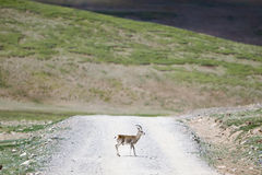 Wild gazelle on road Royalty Free Stock Images