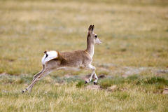 Wild gazelle running Royalty Free Stock Image