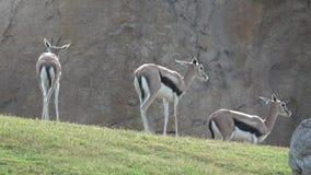Wild gazelles in field