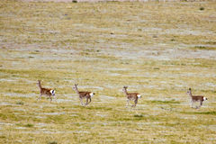 Wild gazelles group Royalty Free Stock Photography
