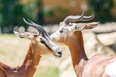 Wild Gazelles In National Park Royalty Free Stock Photography