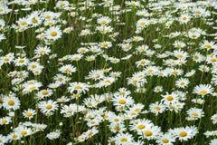 Wild gebied van daisysbloemen in de wind Boom op gebied Concept seizoenen, ecologie, groene planeet, Gezonde, natuurlijke groen Royalty-vrije Stock Foto's