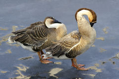 Wild geese. Two wild geese is sorting out the feathers Royalty Free Stock Photography
