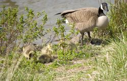 Wild Geese with Chicks Stock Image