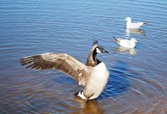 Wild geese Royalty Free Stock Photo