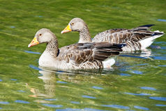 Wild geese Royalty Free Stock Images