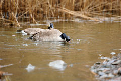 Wild geese Royalty Free Stock Image