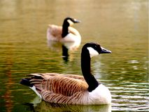 Wild Geese. Two geese represent wildlife royalty free stock photos