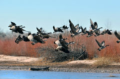 Wild Geese. Flock of Canadian wild geese flying over a river Royalty Free Stock Photos