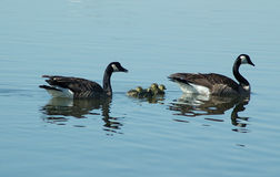 Wild geese. Family at lake stock photo