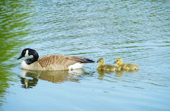 Wild geese with baby Royalty Free Stock Image