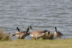 Wild geese by the bay Stock Images