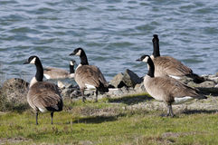 Wild geese by the bay Stock Image