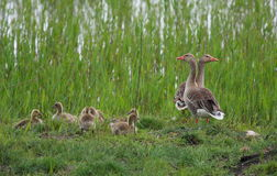 Wild Geese with chicks Stock Photo