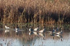 Wild geese. In Danube Delta - Greylag goose (Anser anser Stock Photo