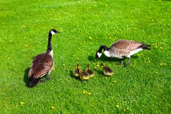 Wild geese in a family Stock Images
