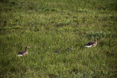 Wild geese family Royalty Free Stock Photo